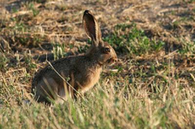 Italian Hare